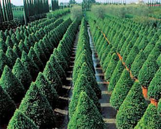Pomisori pe toate gusturile eveniment sibiu for Arbusti ornamentali