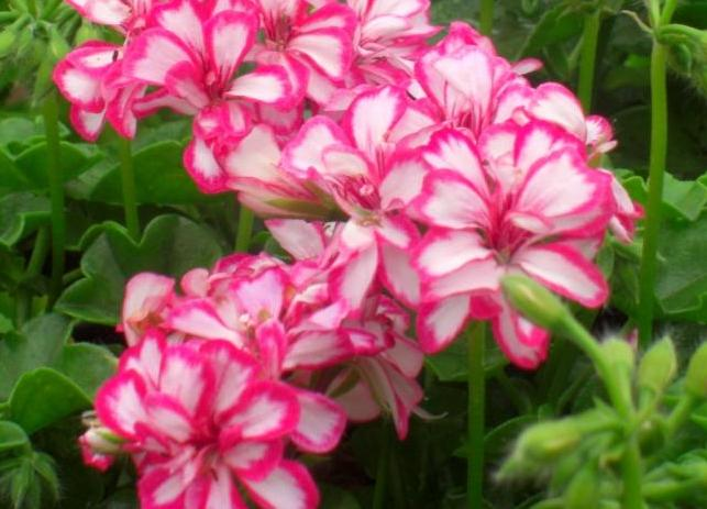 Vara florilor la Sibiu