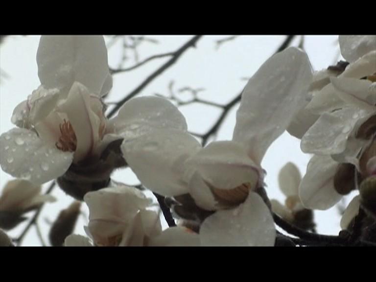 27.03 magnolie acop